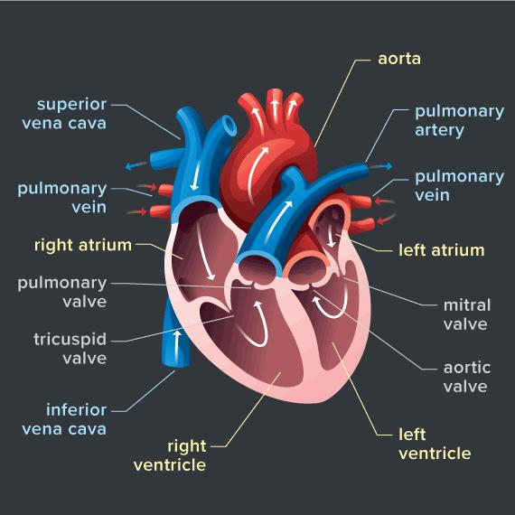 Xét nghiệm hsTROPONIN trong bệnh lý tim mạch